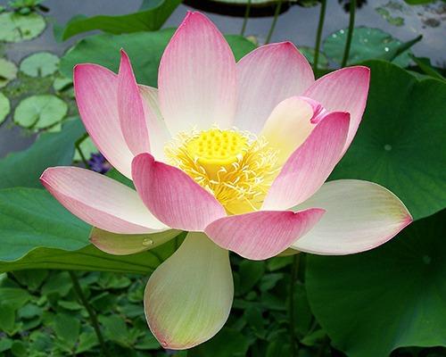 Couleur Padparadscha vient du Nelumbo Nucifera lotus sacré